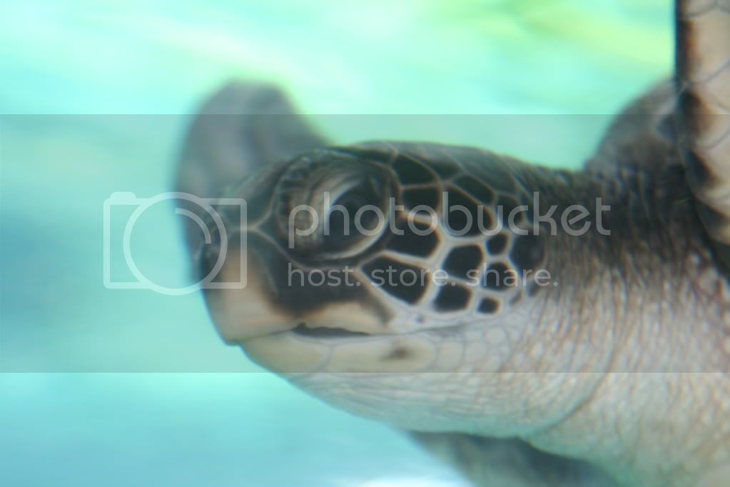 http://i890.photobucket.com/albums/ac106/hobowagun/sea-turtle-close-up.jpg